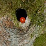 venn-ahorn-tomate